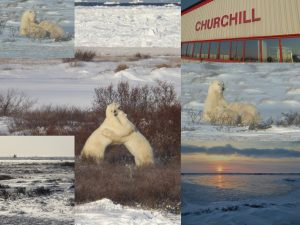 Pics of polar bears